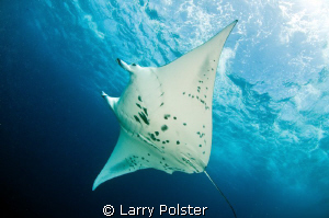 Manta feeding on Devil's Highway, 8 to 10 knot current, h... by Larry Polster 